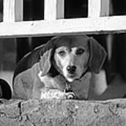 Beware - Guard Beagle On Duty In Black And White Poster by Suzanne Gaff