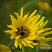 Big Beautiful Bumble Bee On Flower Poster