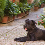 Big Black Schnauzer Dog In Italy Poster
