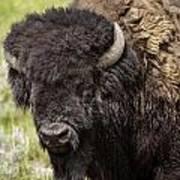Big Bruiser Bison Poster