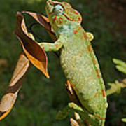 big chameleon of Madagascar 20 Poster