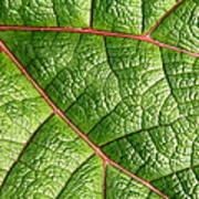 Big Green Leaf 5d22460 Poster