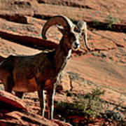 Big Horn Ram At Zion Poster