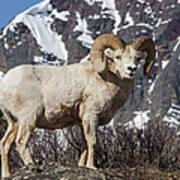 Big Horn Ram In Spring Poster