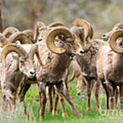 Big Horn Sheep Bachelors Poster