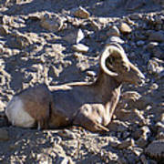 Big Horn Sheep Close Up Poster