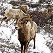 Big Horn Sheep In The Snow Poster