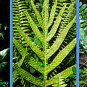 Big Island Of Hawaii Ferns Poster by Colleen Cannon