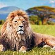 Big Lion Lying On Savannah Grass Poster