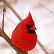 Big Red  Cardinal Bird In Snow Poster