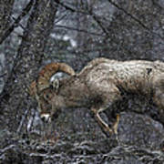 Bighorn Caught In A Blizzard Poster