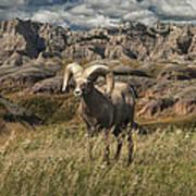 Bighorn Ram In The Badlands Poster