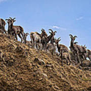 Bighorn Sheep At Blue Mesa Reservoir Poster