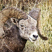 Bighorn Sheep In Field Poster