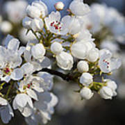 Billows Of Fluffy White Bradford Pear Blossoms Poster