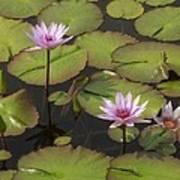 Biltmore Water Lillies Poster