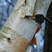 Birch Bark Study No.1 Poster
