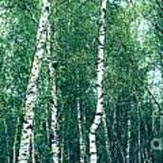 Birch Forest - Green Poster