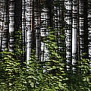 Birch Illusion Poster