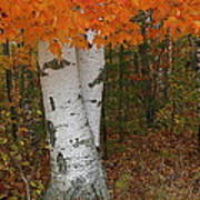 Birch In Autumn Poster
