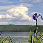 Birch Lake Iris Poster