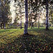 Birch Trees, Imatra, Finland Poster