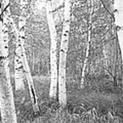 Birch Trees In A Forest, Acadia Poster