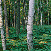 Birch Trees In A Forest Poster