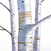 Birch Trees In Three Poster