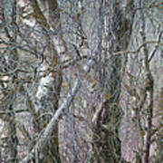 Birch Trees Winter Ashover Poster