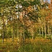Birch Trees2 Poster