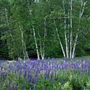 Birches In The Blue Lupine Poster