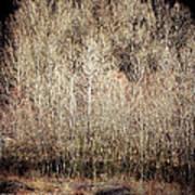 Birches In Winter Poster