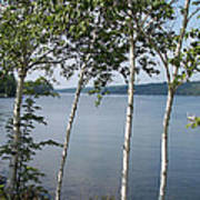 Birches On Sunapee Poster