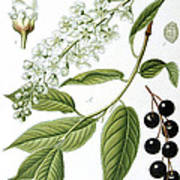 Bird Cherry Cerasus Padus Or Prunus Padus Poster