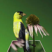 Bird Eating Seeds Poster