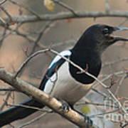 Bird Magpie Poster