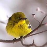 Bird - Pine Warbler - Yellow Beauty Poster