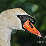 Bird - Swan - Mute Swan Close Up Poster