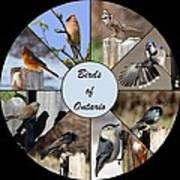 Birds Of Ontario Poster