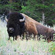Bison At Rest Poster