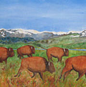 Bison At Yellowstone Poster