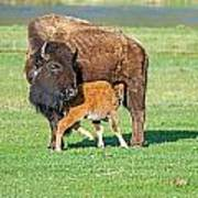 Bison Baby And Mom Poster