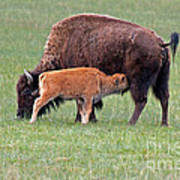 Bison Calf Having Breakfast In  Yellowstone National Park Poster