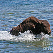 Bison Calf Running After Mama In Yellowstone National Park Poster