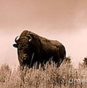 Bison Cow On An Overlook In Yellowstone National Park Sepia Poster