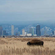 Bison Graze With Denver Colorado In The Background Poster