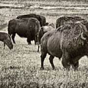 Bison Herd Bw Poster