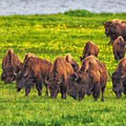 Bison Herd Grazing In Lamar Valley Poster