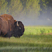 Bison In Morning Light Poster